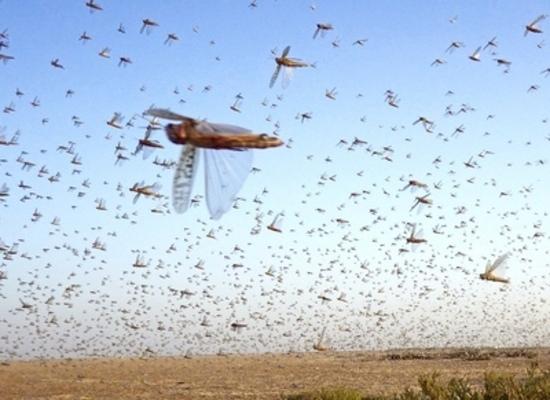 大群 現在 の バッタ 2021年も大規模なイナゴ(サバクトビバッタ)の大群が東アフリカで大発生しており、アジアに向かって移動中。またも史上空前の殺虫剤散布が…
