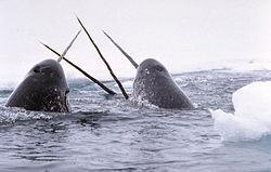 神秘のクジラ イッカクを追う』 ...